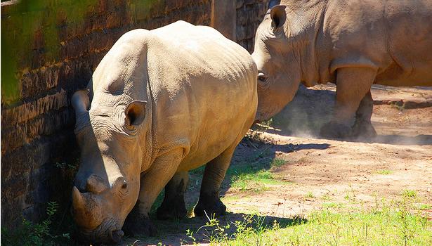 rinoceronte del zoologico sapucaia do sul